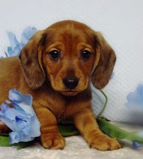 puppies for sale in ohio tiny miniature dachshund rescue breeds picture