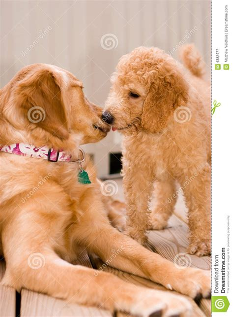 doodle retriever puppy labradoodle puppy and golden retriever royalty free stock