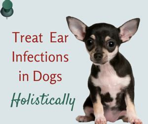 home remedies for cleaning dogs ears cleaning ears