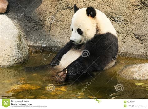 panda bathroom giant panda having a bath royalty free stock image image