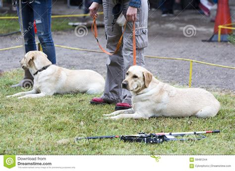 golden retriever puppy guide golden retriever seeing eye dogs breeds picture