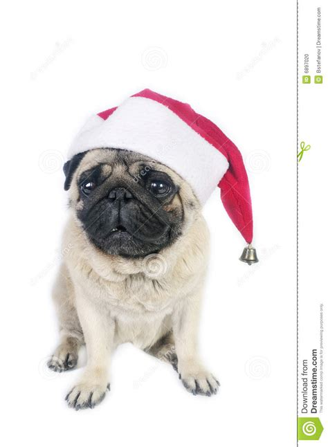 santa pug santa pug stock photo image 6897020