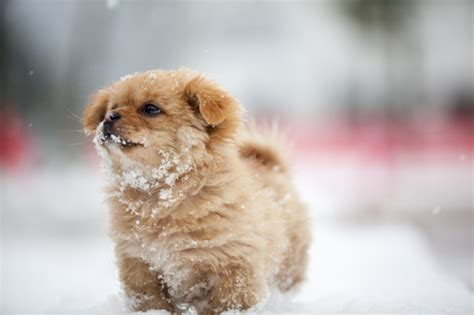 adorable small puppies adorable dogs fluffy puppies puppy small snow