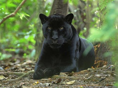 Jaguar Cat Black Panther Great Cats Of The Quot World Quot