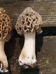 world record morel mushroom | morel mushrooms | indiana