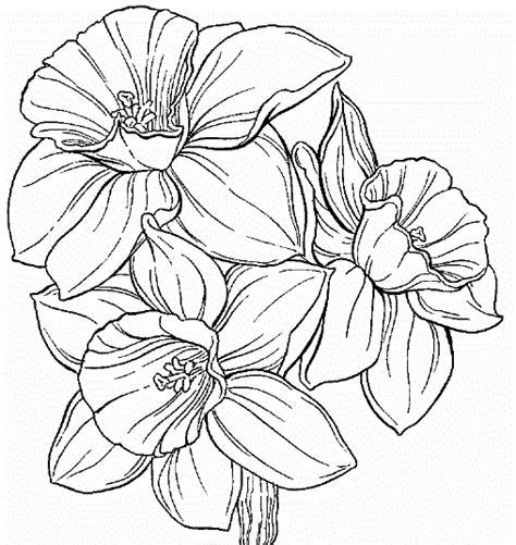 more daffodil coloring pages