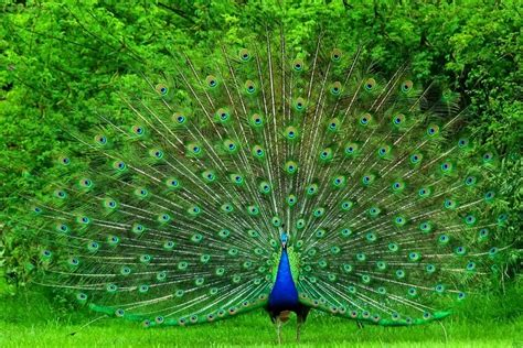 peacock blue desktop peacock blue images wallpaper