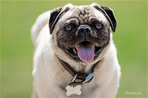 pug heat stroke heat stroke in dogs test your knowledge with this quiz page 10