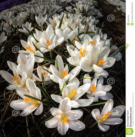 Artistic Appeal white crocuses growing in fields in stock photo