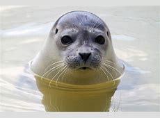 Heuler (Forum für Naturfotografen) Seehund