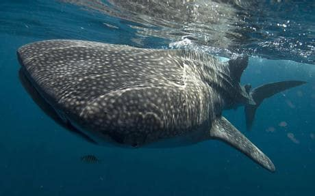 smallest grown in the world world s smallest whale shark found telegraph