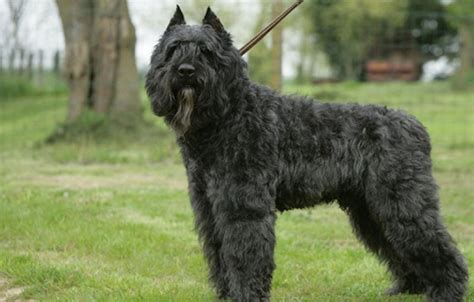 bouvier dogs bouvier des flandres breed information and images k rl
