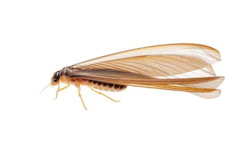 Insects That Shed Their Wings by Dallas Fort Worth Termite Swarming Outlook For 2016