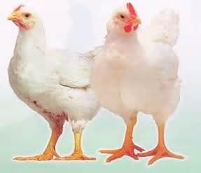 Ayam Potong Wonogiri Giz Images Raz Post 17