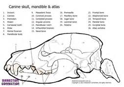 veterinary anatomy coloring book canine skull anatomical colouring in worksheet