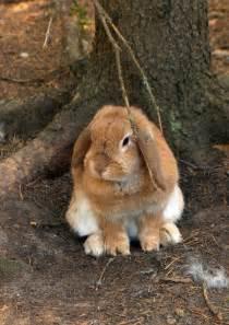 lop eared rabbit by leonid pomeranian small pets pinterest