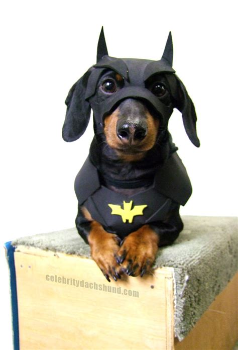 batman puppy dachshund costumes contest results crusoe dachshund