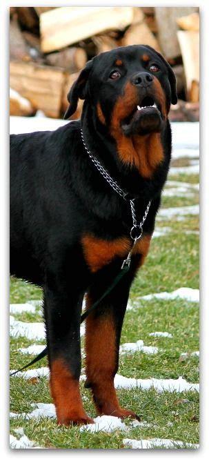 baby rottweiler for sale craigslist 1351 best images about rottweiler on best dogs rottweiler and german