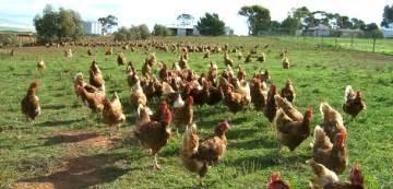 Raising Backyard Pigs Eartheasy Blog 187 Our Top 6 Chicken Raising Mistakes