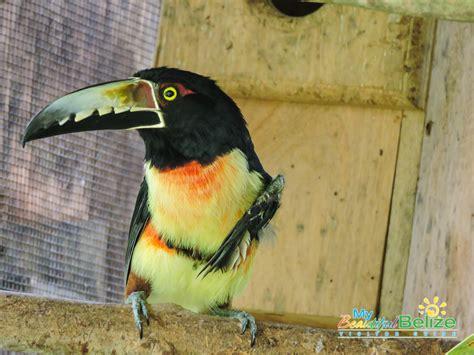 belize bird rescue avian rehabilitation centre bird