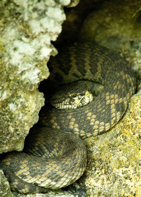 Garden Viper Snake Viper Snake Hibernating Flickr Photo