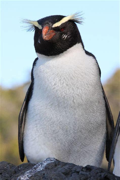 Fiordland Crested Penguins