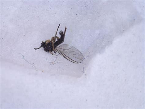 bathroom gnats gnats in bathroom and kitchen iquomi com
