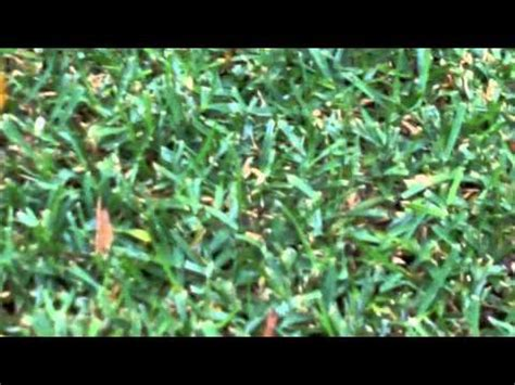 couch grass removal removing couch from buffalo couch lawn care buffalo