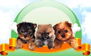 teacup yorkies for sale in toledo ohio 25 great ideas about morkie puppies on yorkie terrier mix teacup yorkie