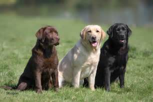 color labs three colours labrador photo rogers photos at
