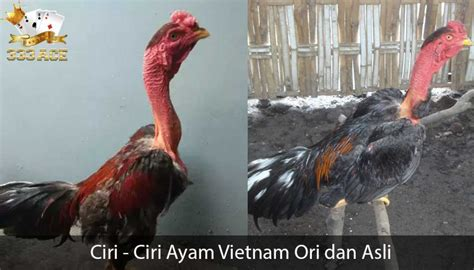 ciri ciri ayam vietnam ori  asli