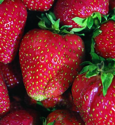 Planting A Garden In The Fall - quinault strawberry most popular ever bearing large fruit