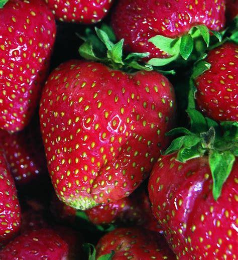 Urban Organic Gardening - quinault strawberry most popular ever bearing large fruit