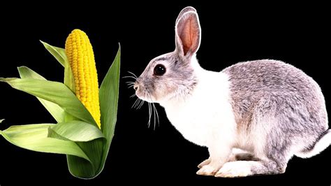 can rabbits eat corn rabbit breeding at home youtube