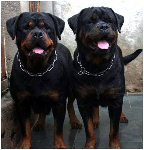 best dog house for rottweiler best 20 german rottweiler ideas on pinterest rottweiler