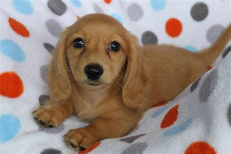 breeders in mini dachshund for sale indiana breeds picture