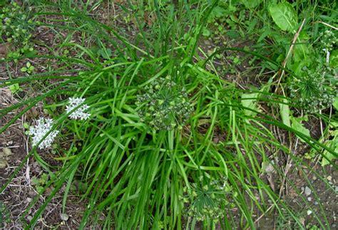 dead the garlic chives s veggie garden