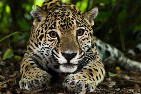imagenes del jaguar mexicano estudian propuestas para salvaguardar la integridad del