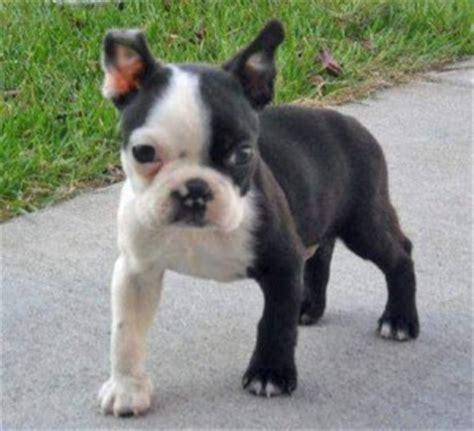 free puppies bay city mi pets bay city mi free classified ads