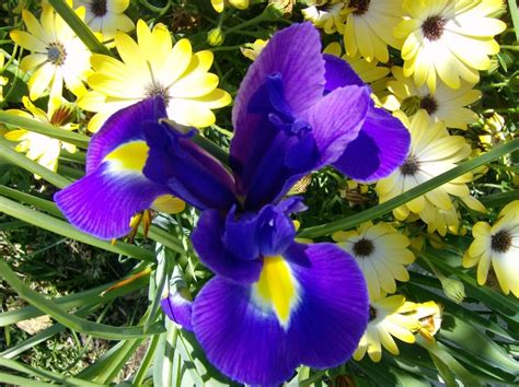 how to grow organic irises on the green farms