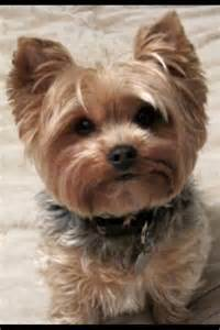 pics of yorkie summer cuts yorkie haircuts pictures summer cuts