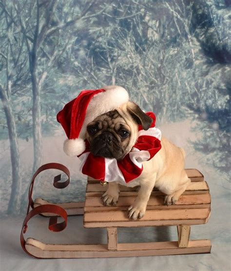 pug in santa costume 141 best pug costumes images on doggies dogs and dogs