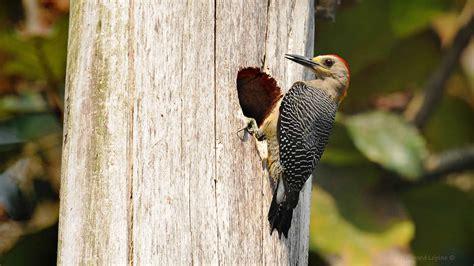gua de aves 8428215332 observacion de aves en el parque nacional tikal con guias