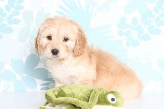 doxie doodle puppies for sale view ad dachshund goldendoodle mix puppy for sale