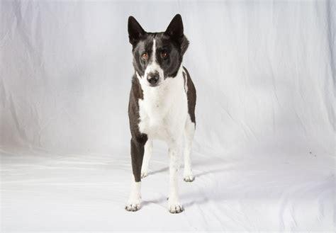 akc find a puppy canaan puppies for sale akc puppyfinder