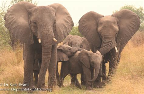 african elephant facts elephant facts elephants for africa