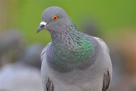 what s killing california s native pigeon bay nature