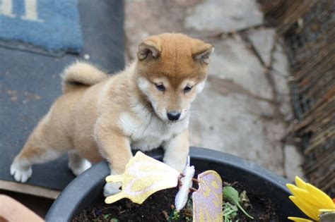 shiba inu puppy for sale shiba inu puppy for sale doncaster south pets4homes