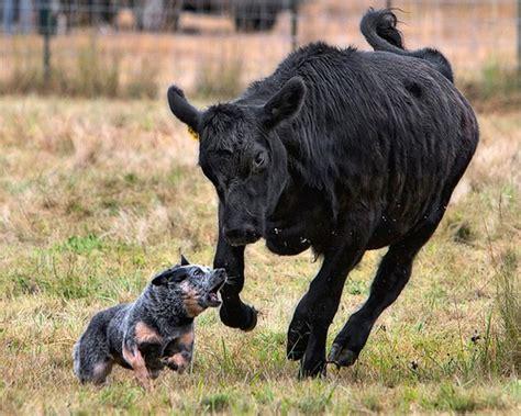 aussie cattle australian cattle australian lover