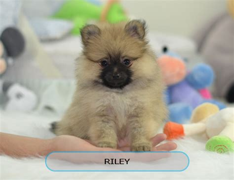 order puppies image gallery order a puppy